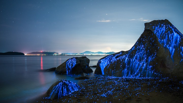 Sea Fireflies Turn Beaches In Japan Into A Beautiful Work Of Art