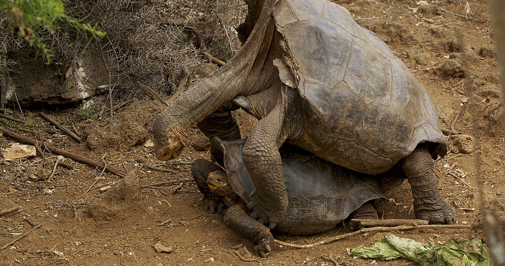 This Hero Tortoise Had Enough Sex To Save His Species From Extinction