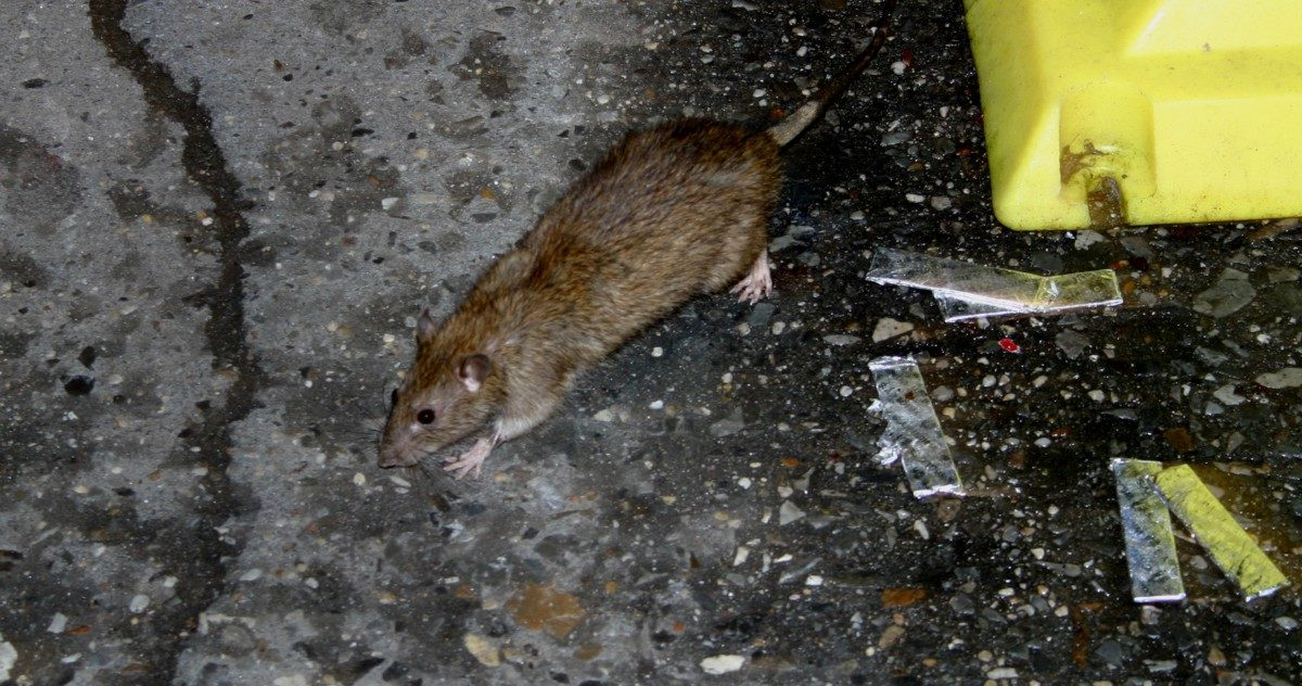 Here Are A Few Quick, Horrifying Facts About City Rats