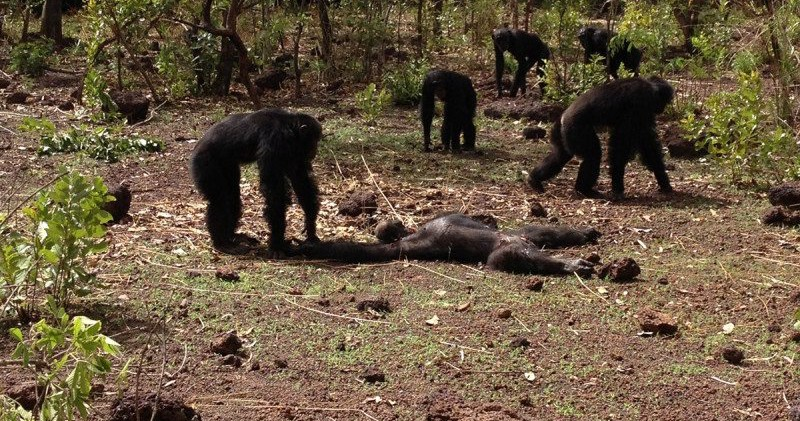 Chimps Beat Up, Murder And Eat Their Tyrant