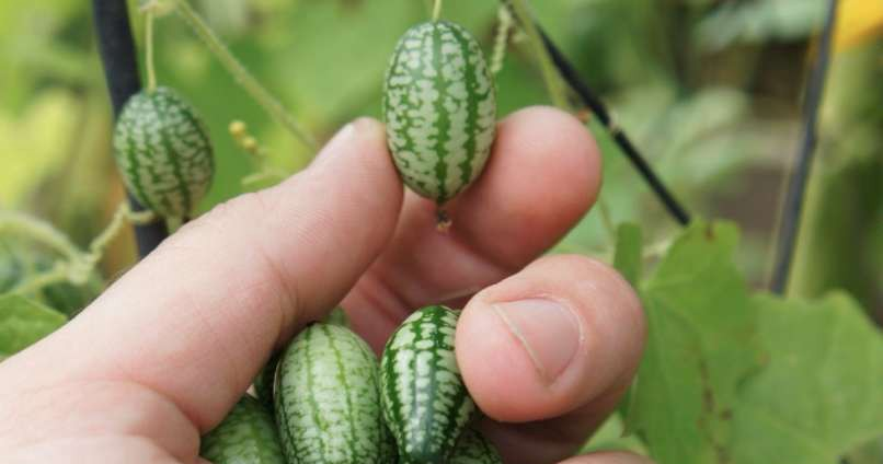 Meet The 'Cucamelon,' The Cutest Fruit You'll Ever See