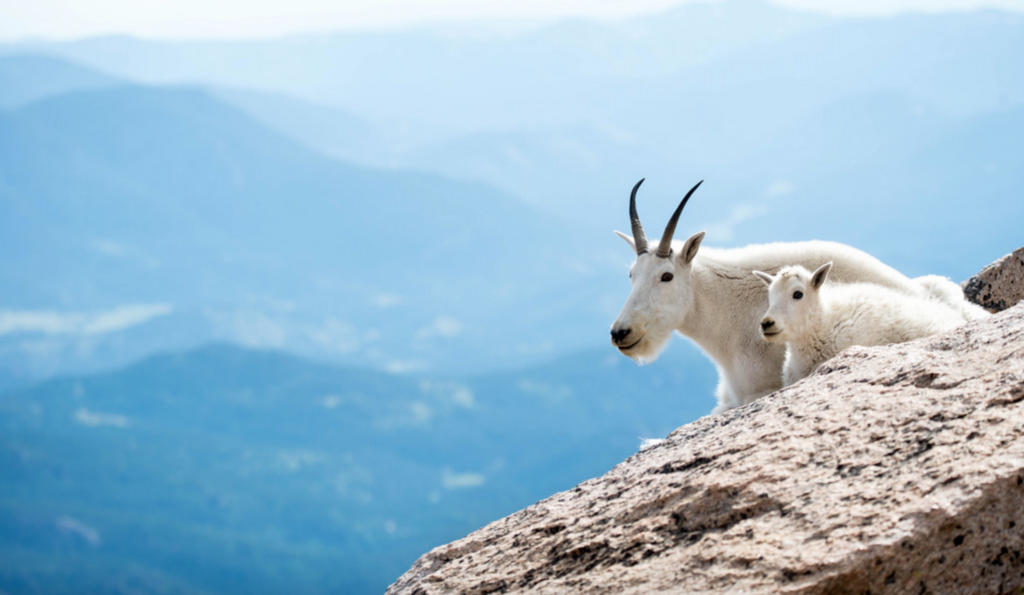 These Insane Goats Just Chill On Cliffs