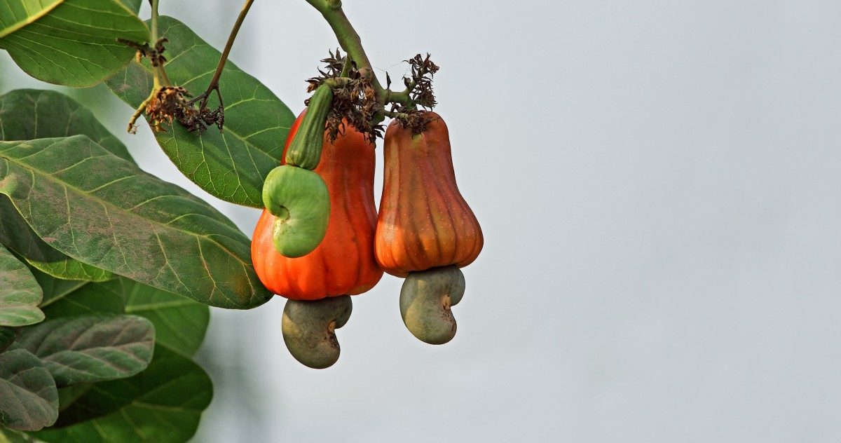 This Is How Cashews Grow, And It'll Blow Your Damn Mind