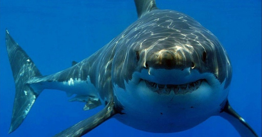 Ever Wonder Why There Are No Great Whites In Aquariums?