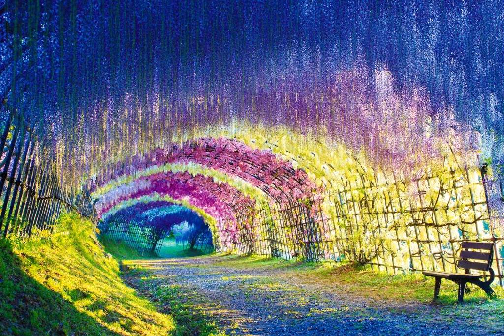 Japan's Wisteria Flower Tunnel Is Like Walking Through A Rainbow